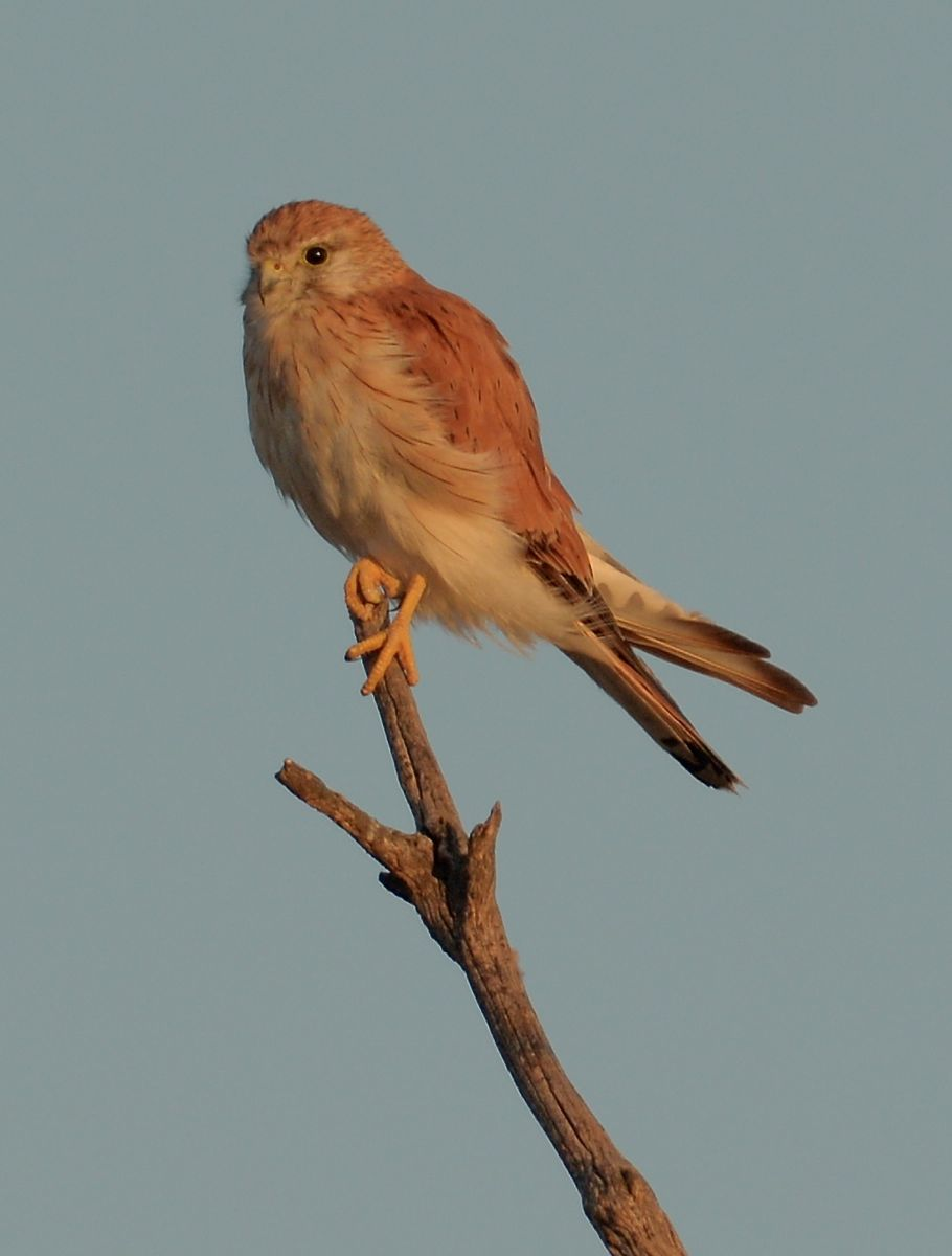 Every one gets up early.  Australian Kestrel, female, in the first shafts of morning light.