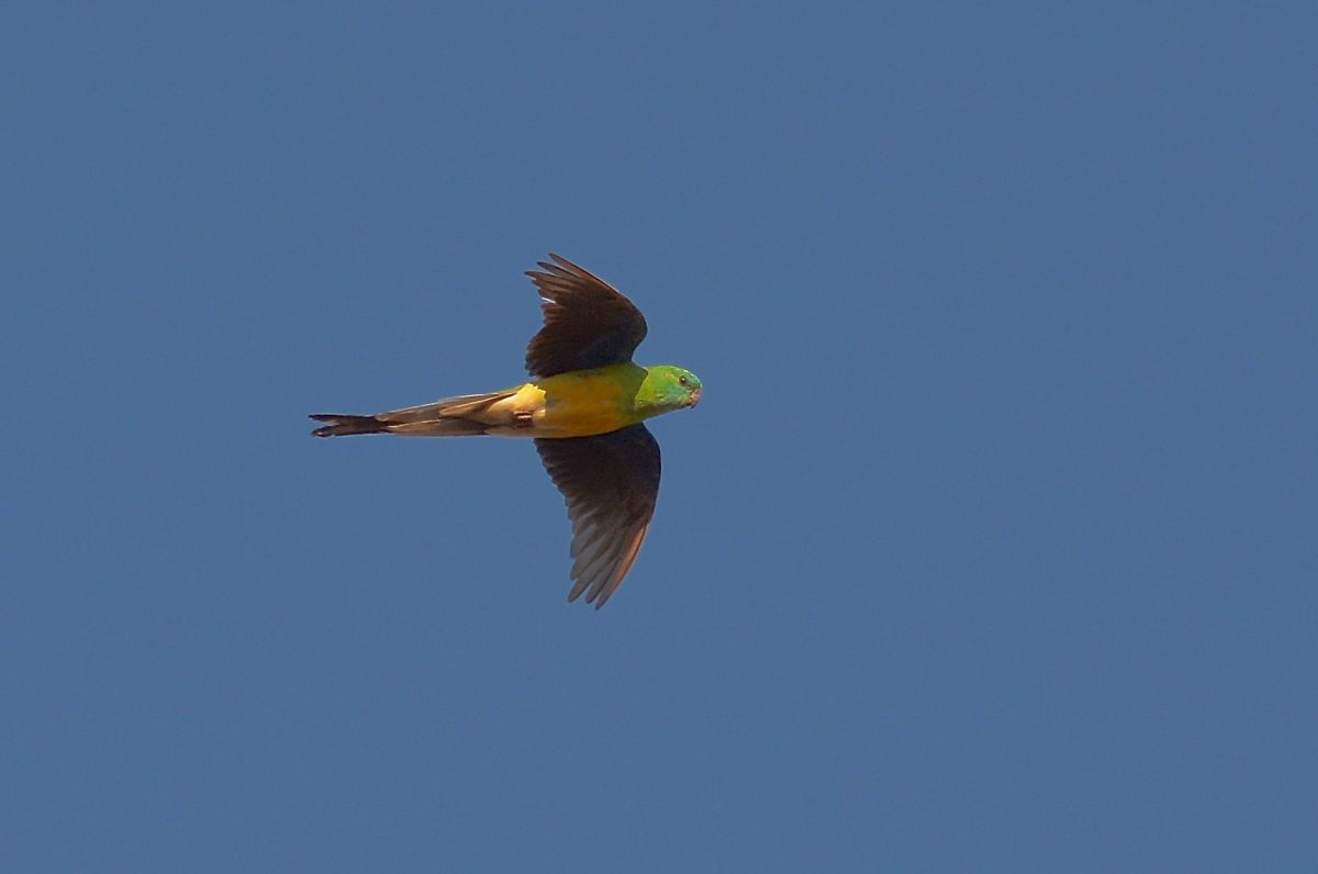 A Red-rumped Parrot in flight.