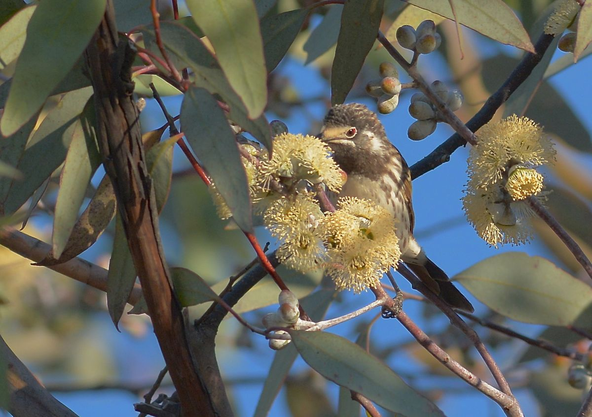 Tiny red wattle behind the eye on a White-fronted Honeyeater.  Most limey a nomad to the area.