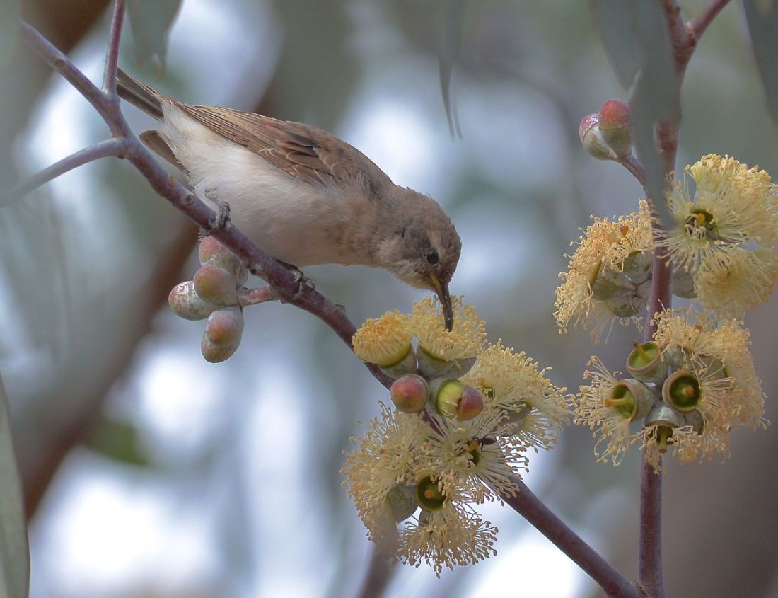 Juvenile Black Honeyeater