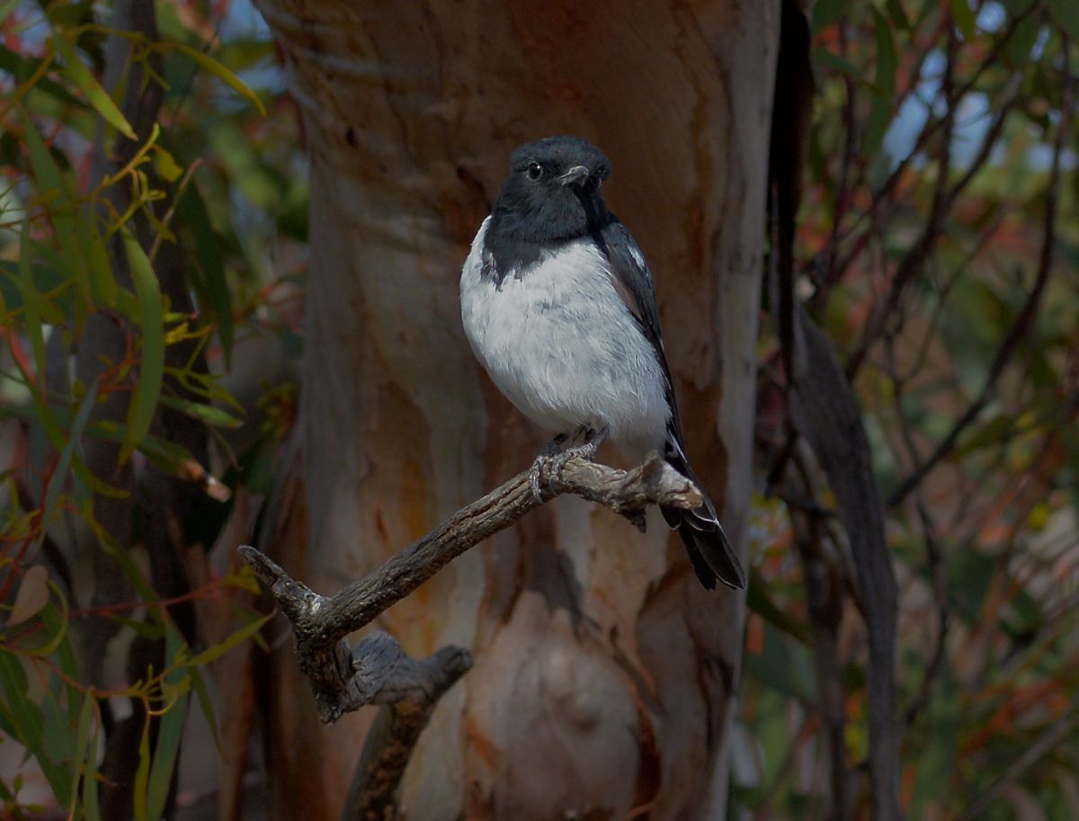 Mr Hooded Robin. A pleasure to photograph