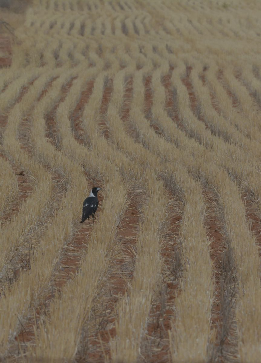 Long rows of harvested wheat leave interesting patterns. Only a Magpie can work them out.