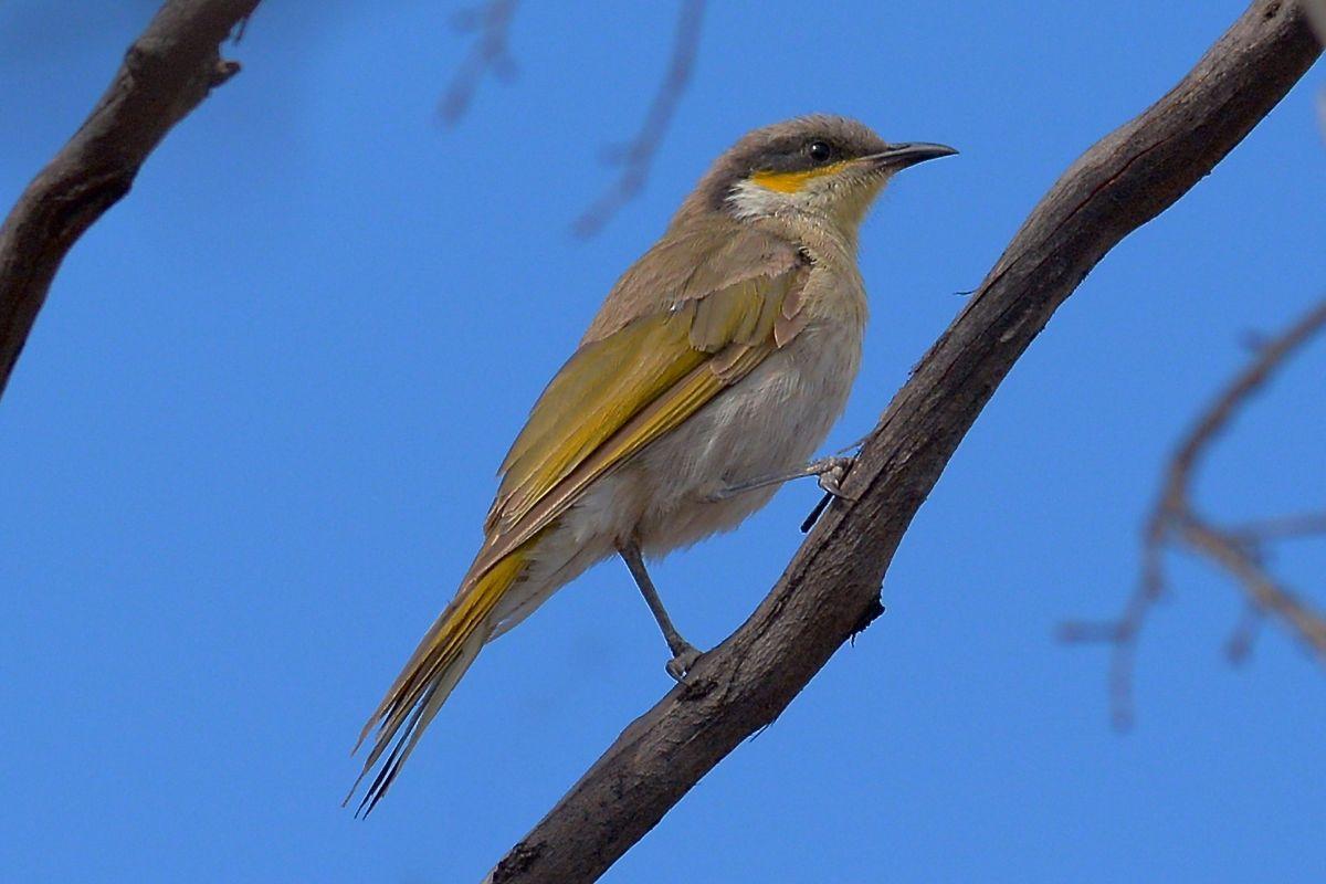 Singing Honeyeater. Another Zorro Bird