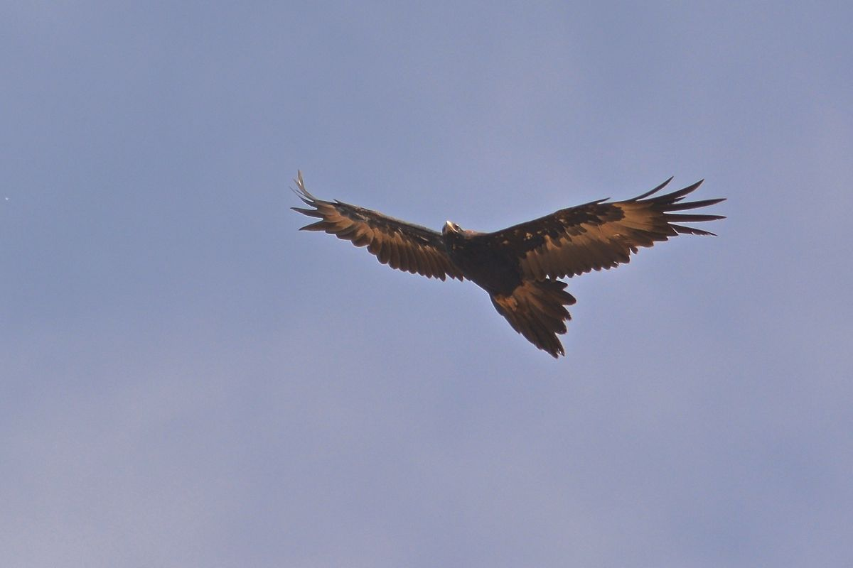 Wedge-tailed Eagle looking for a thermal.