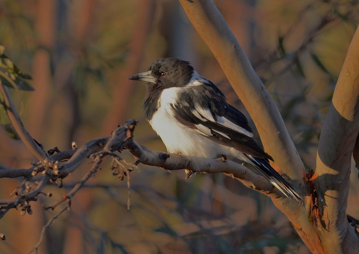 Pied Butcher Bird in the early morning sunshine