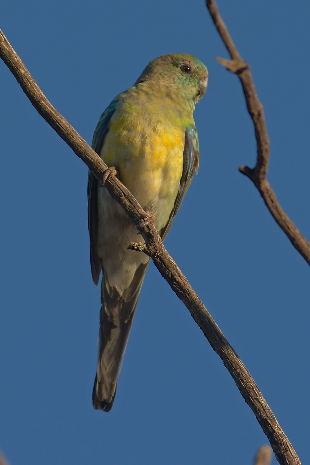 Red-rumped Parrot: Male