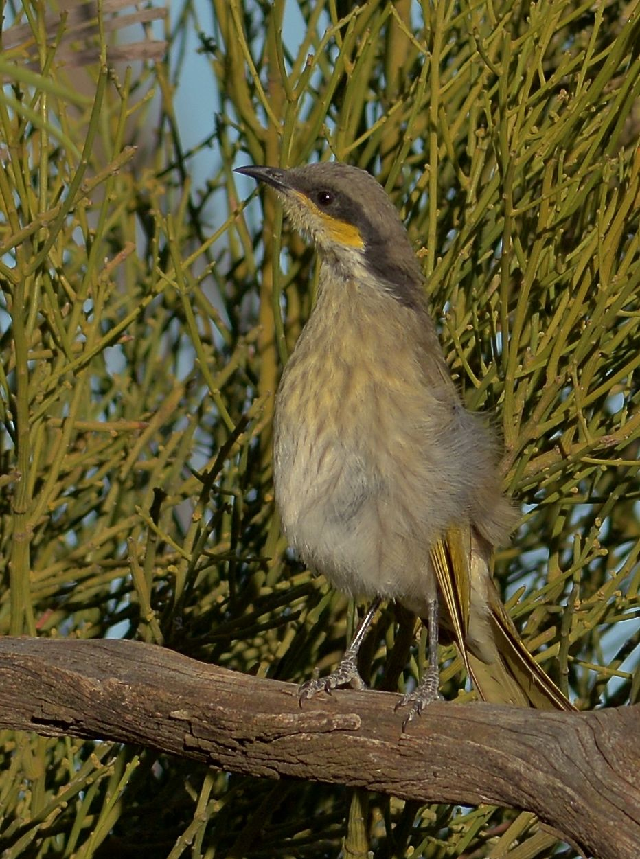 Inquisitive Singing Honeyeater.  It wants to know what is going on over the other side of the bushes. One too many Brown Treecreepers no doubt
