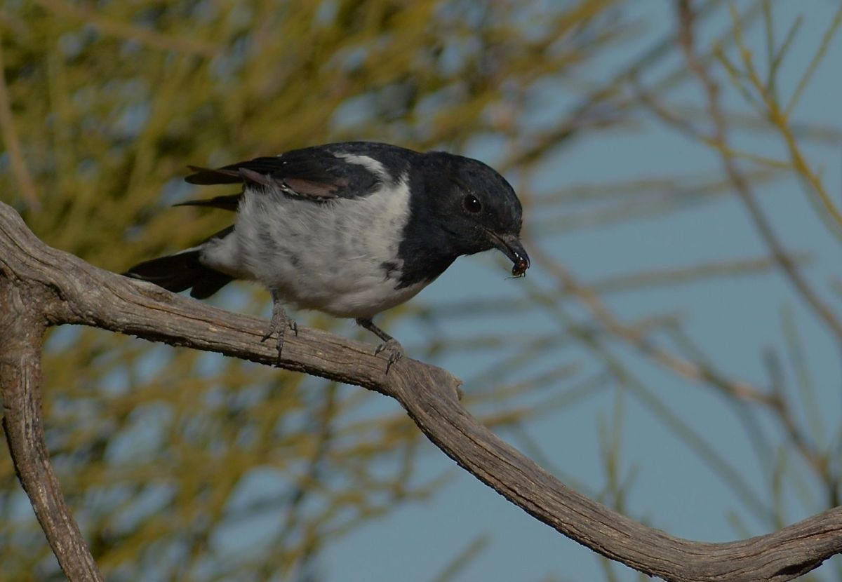 Male Hooded Robin, with an ant.  I think they clip the head off and gain moisture from the body.