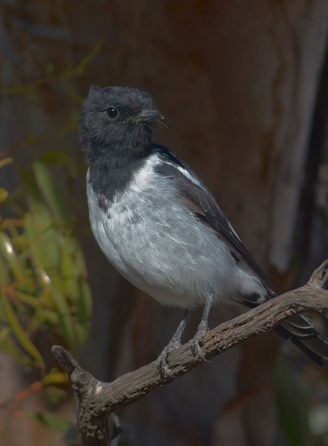 Mr Elegance. Hooded Robin