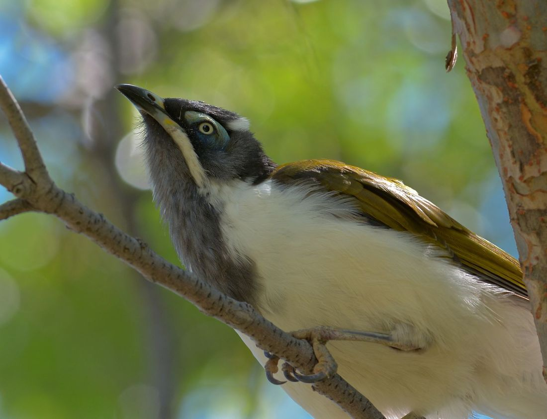Blue-faced Honeyeater, with cobweb design accoutrements.