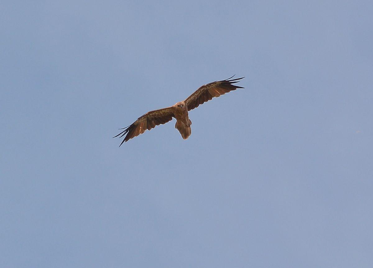 Whistling Kite.