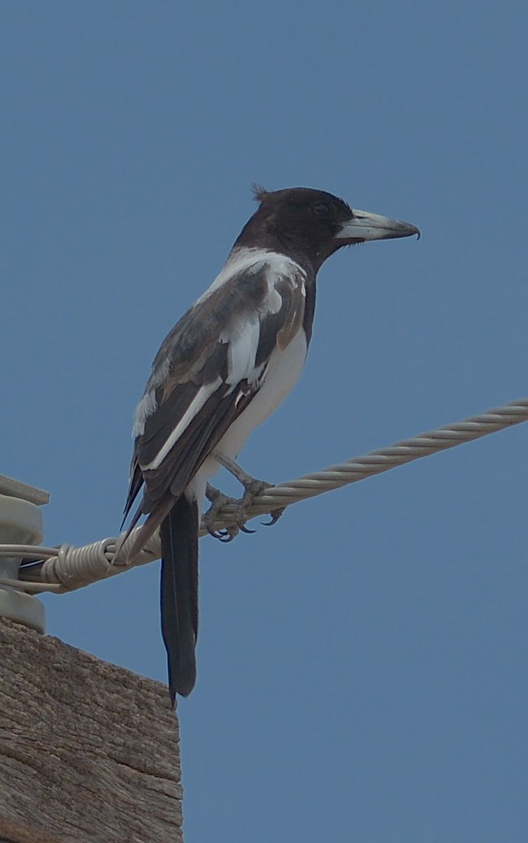 Pied Butcherbird who gave us a great concert of its carolling.