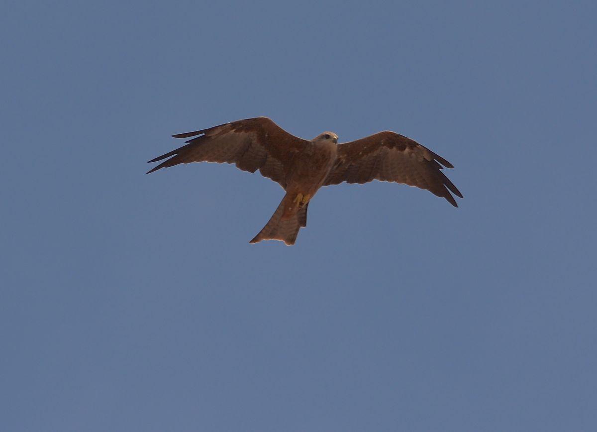 Black Kite, one of many