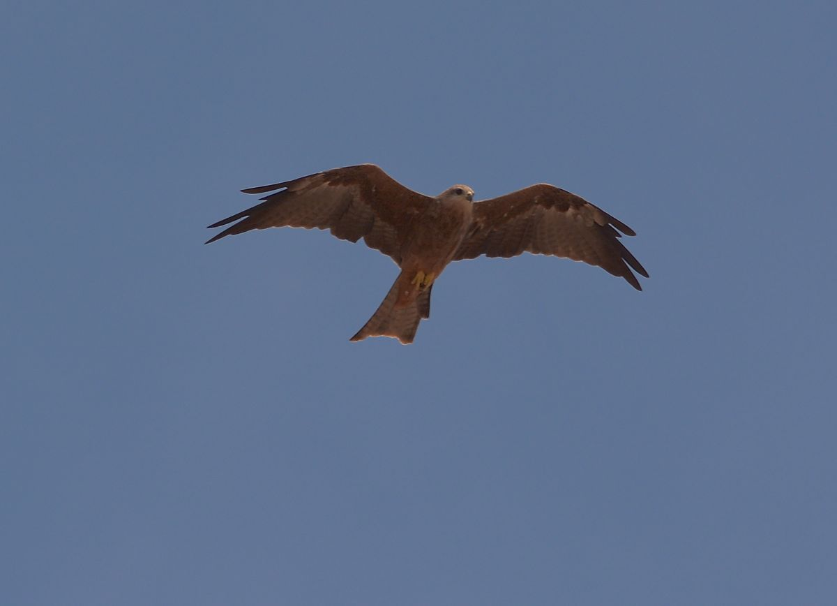 Black Kite, one of many