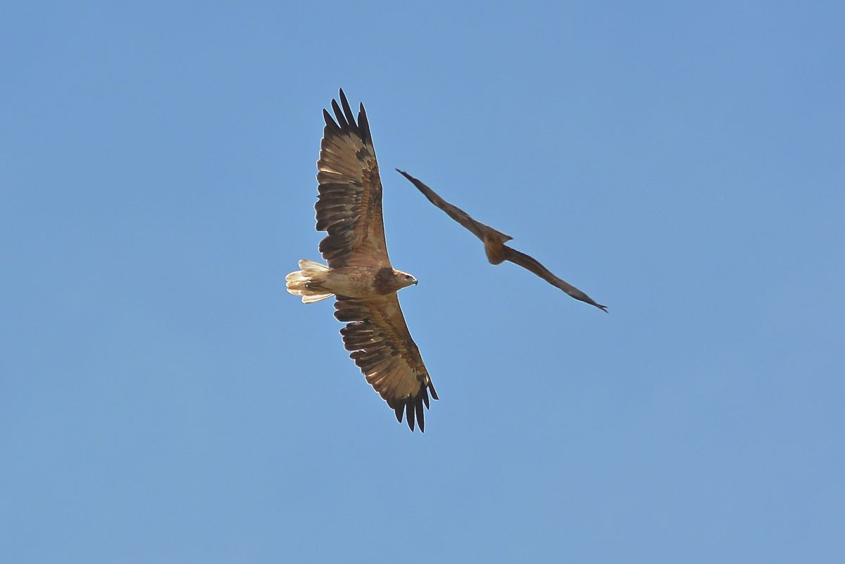 White-bellied Sea Eagle and friend.  Not sure it was much of a contest for the  Sea Eagle.  Game over.