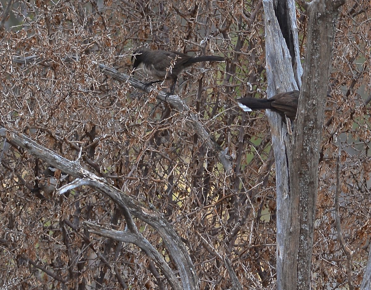 Part of a clan of White-browed Babblers hunting for elusive honeyeaters