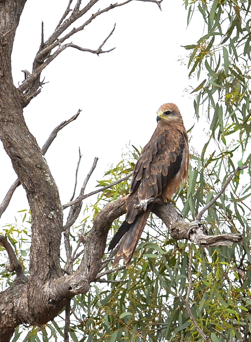 Double duty tree, now a rest spot from the rain for a Whistling Kite