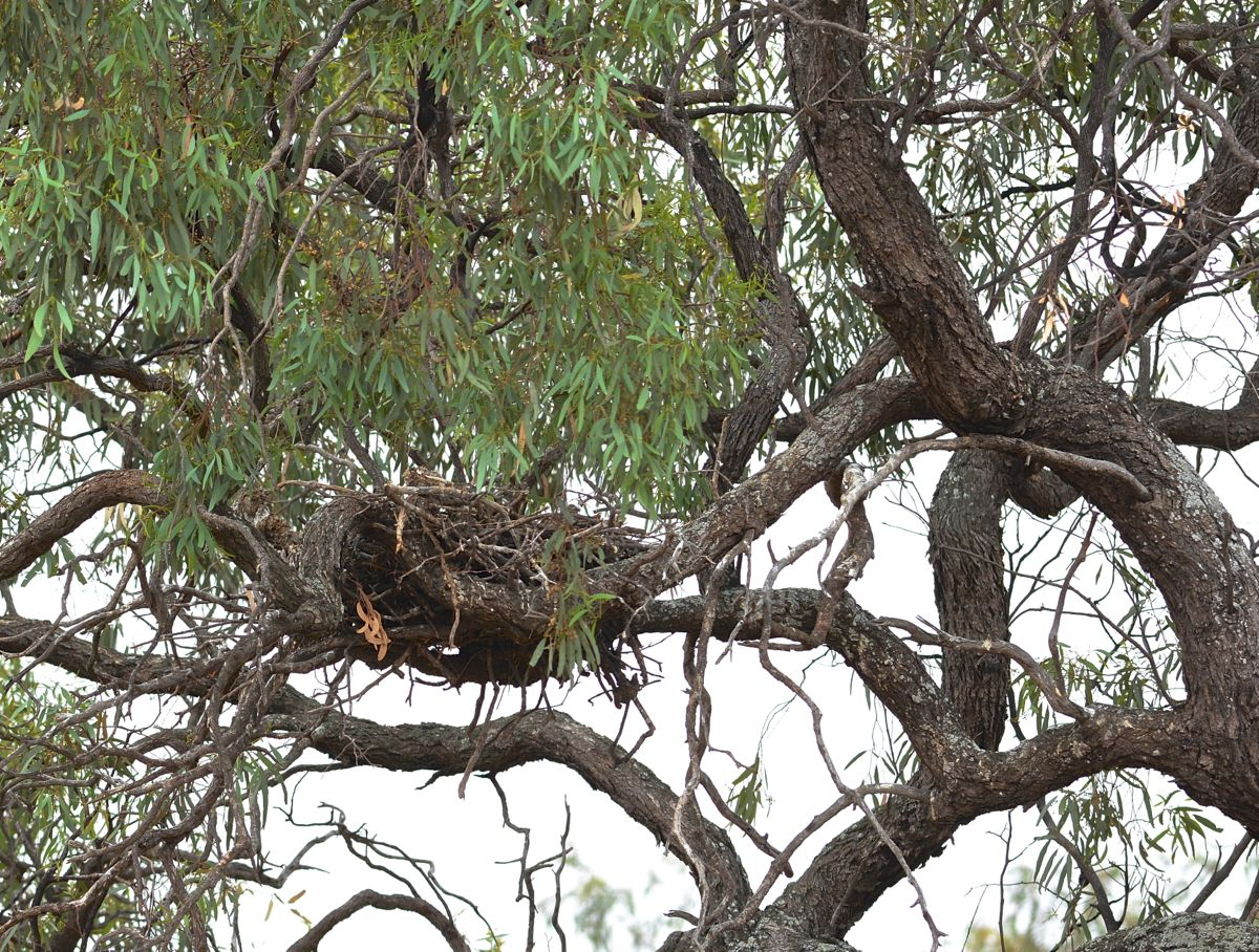 Wedgetailed Eagle nest at Kerang rail crossing