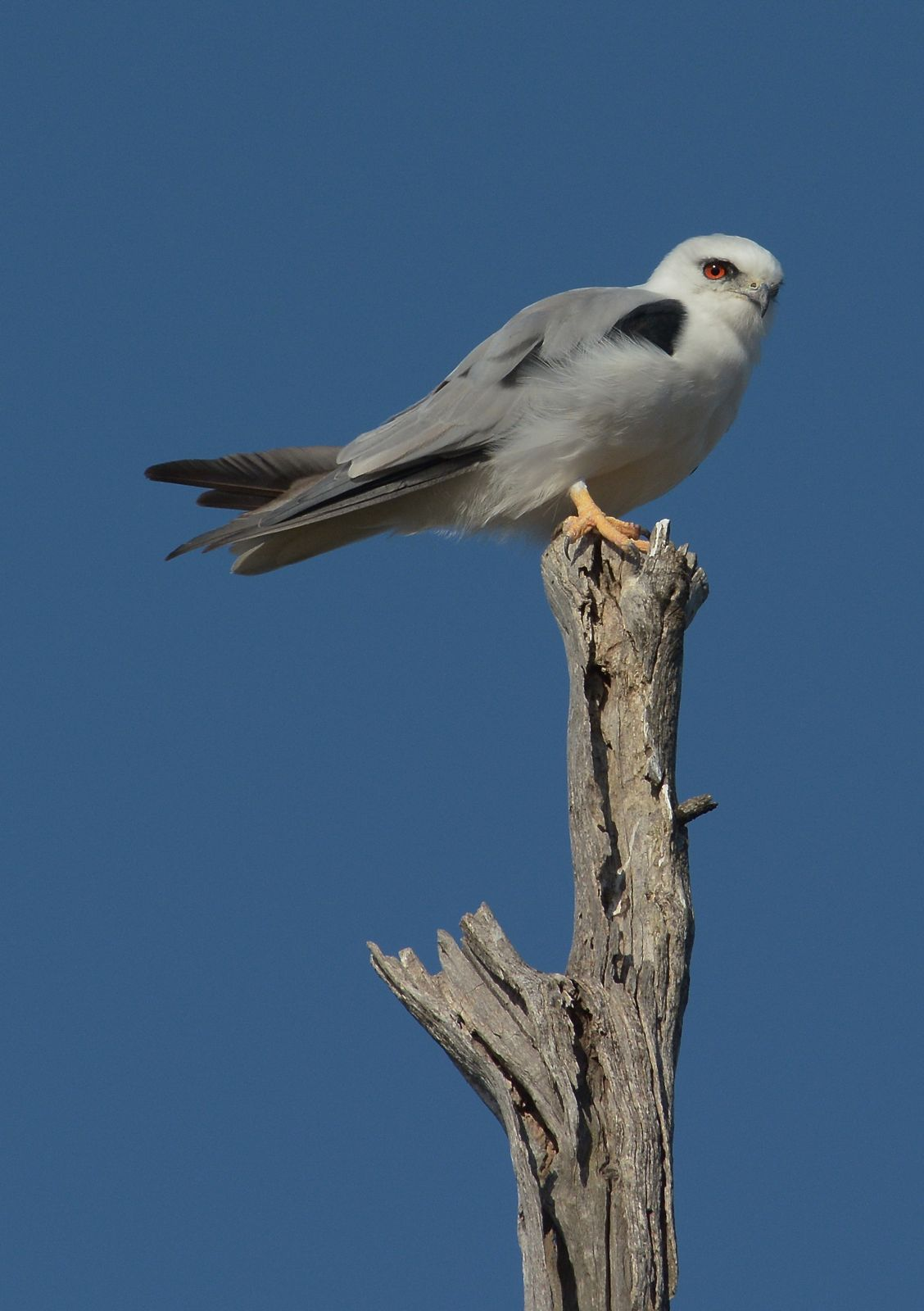 Black-shouldered Kite on a high vantage point.