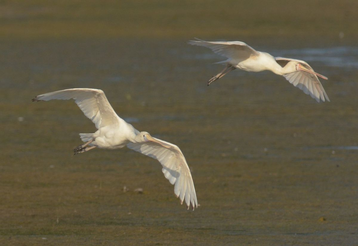 Yellow-billed Spoonbills settling in  for an evening meal.