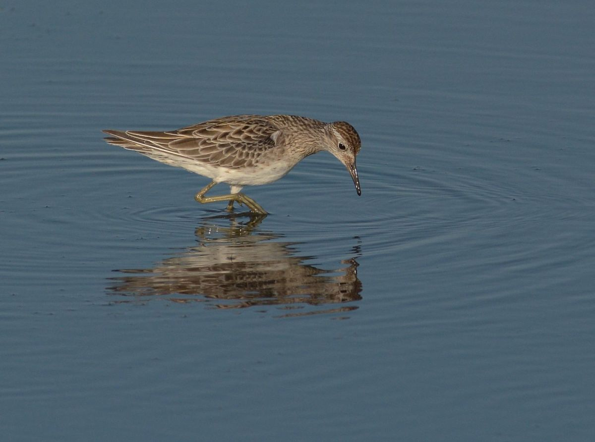 Sharp-tailed Sandpiper.
