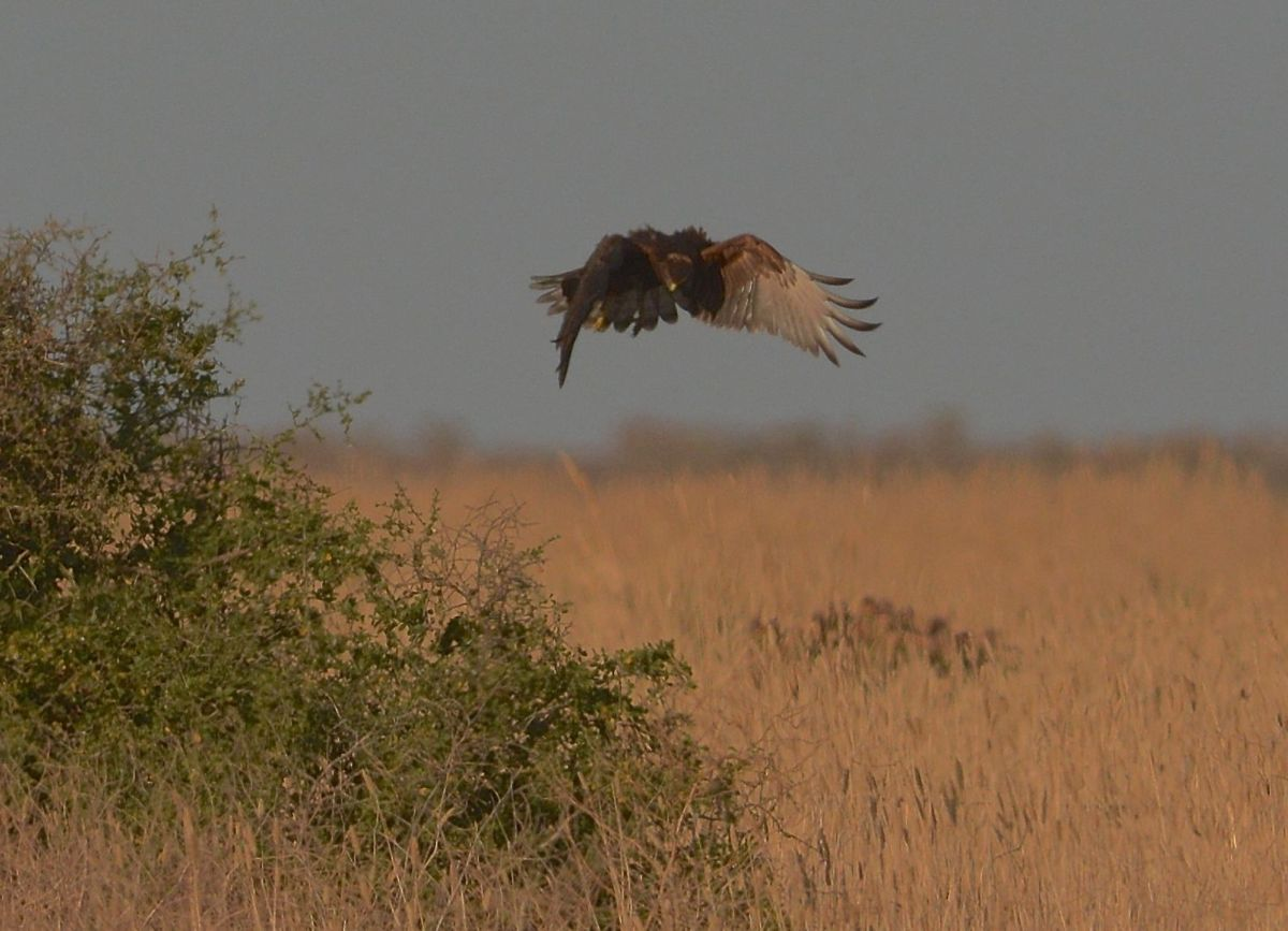 Swamp Harrier, all a bustle as it turns its body to keep up with the intended target