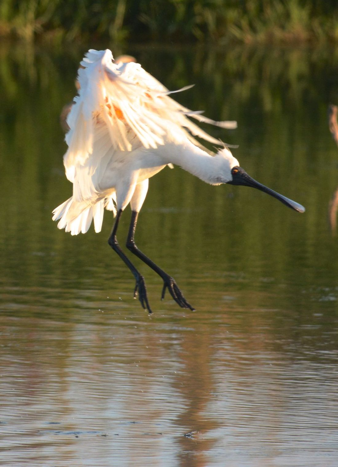 Royal Spoonbill who stopped in the middle of a preen for a bit of a dance in the water.