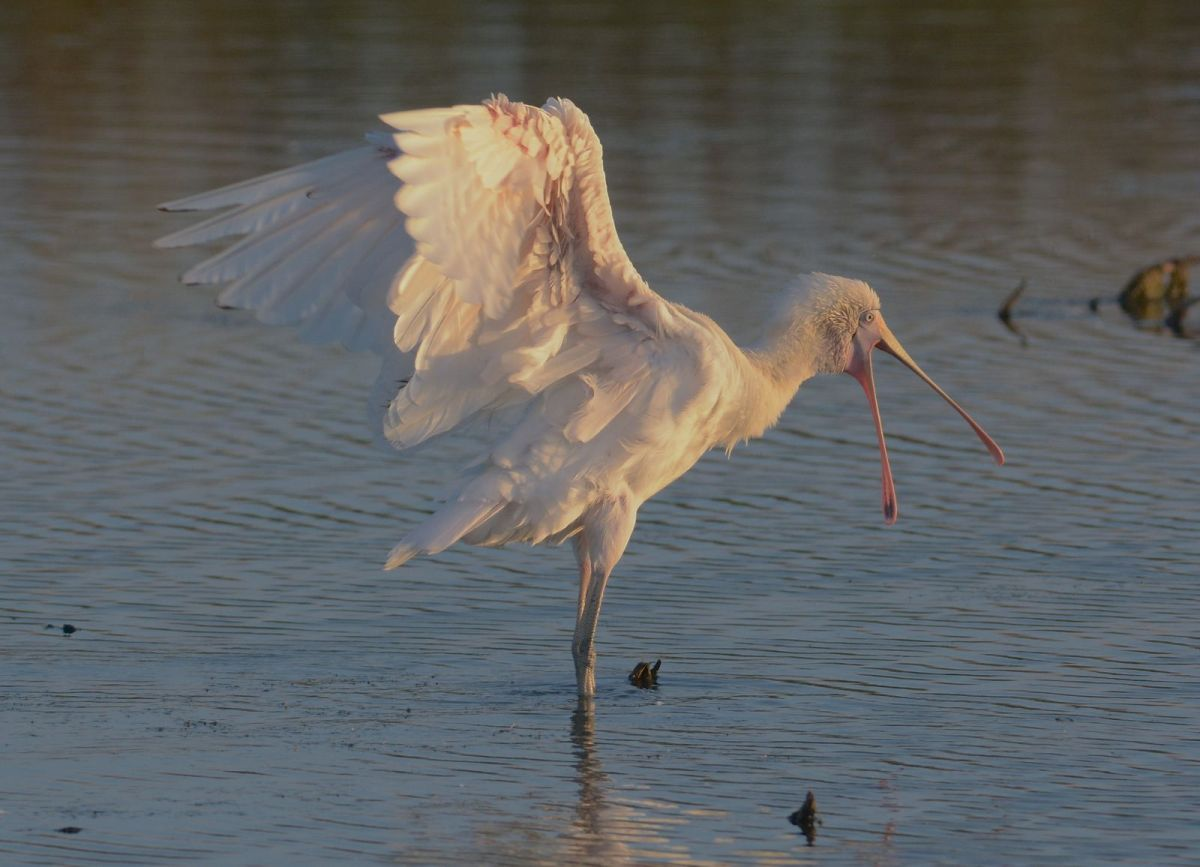Not to be outdone, a Yellow-billed Spoonbill perfuming in the water. Perhaps the cool breeze gave them  pleasure too.