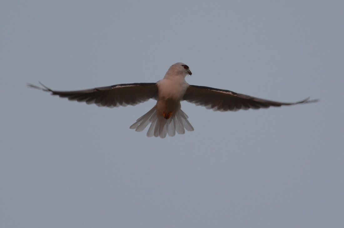 Black-shouldered Kite hunting right on sundown. It lifts its head to be sure  there is no sneak attacks.