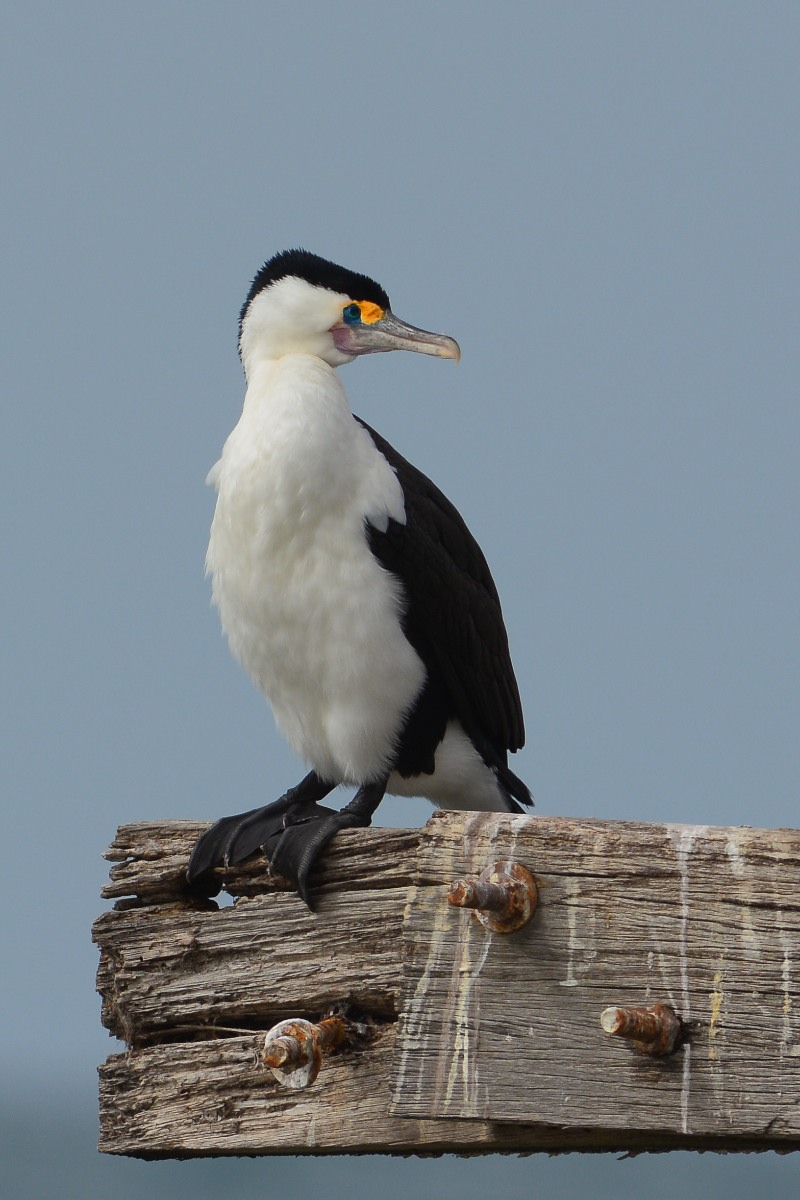 Pied Cormorant, some what bemused by the antics of its neighbours on the pier.