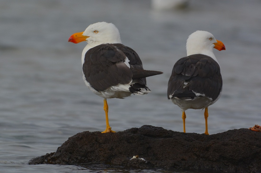 One foot or two?  Pacific Gulls deciding on the best way to nap.