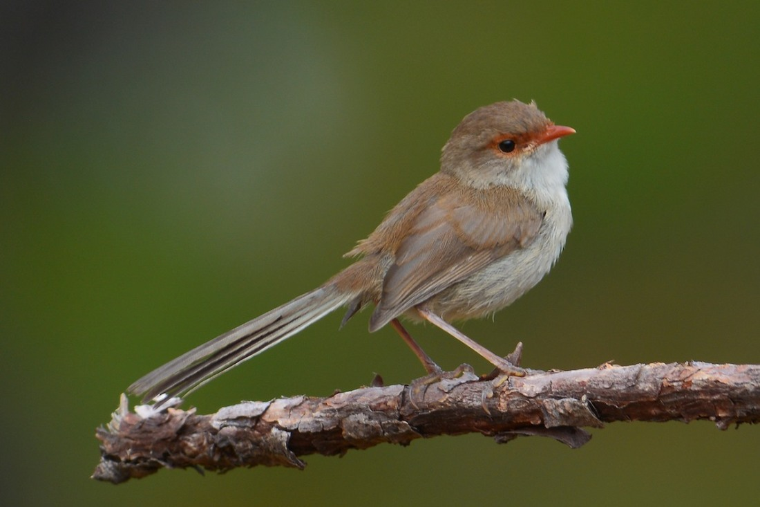 """Gotcha"", a female Superb Fairy Wren comes out to check what is happening."