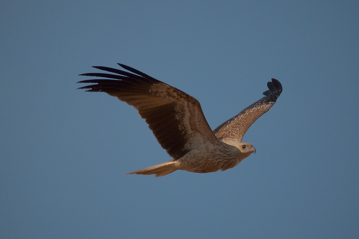 A Whistling Kite in brilliant yellow light.