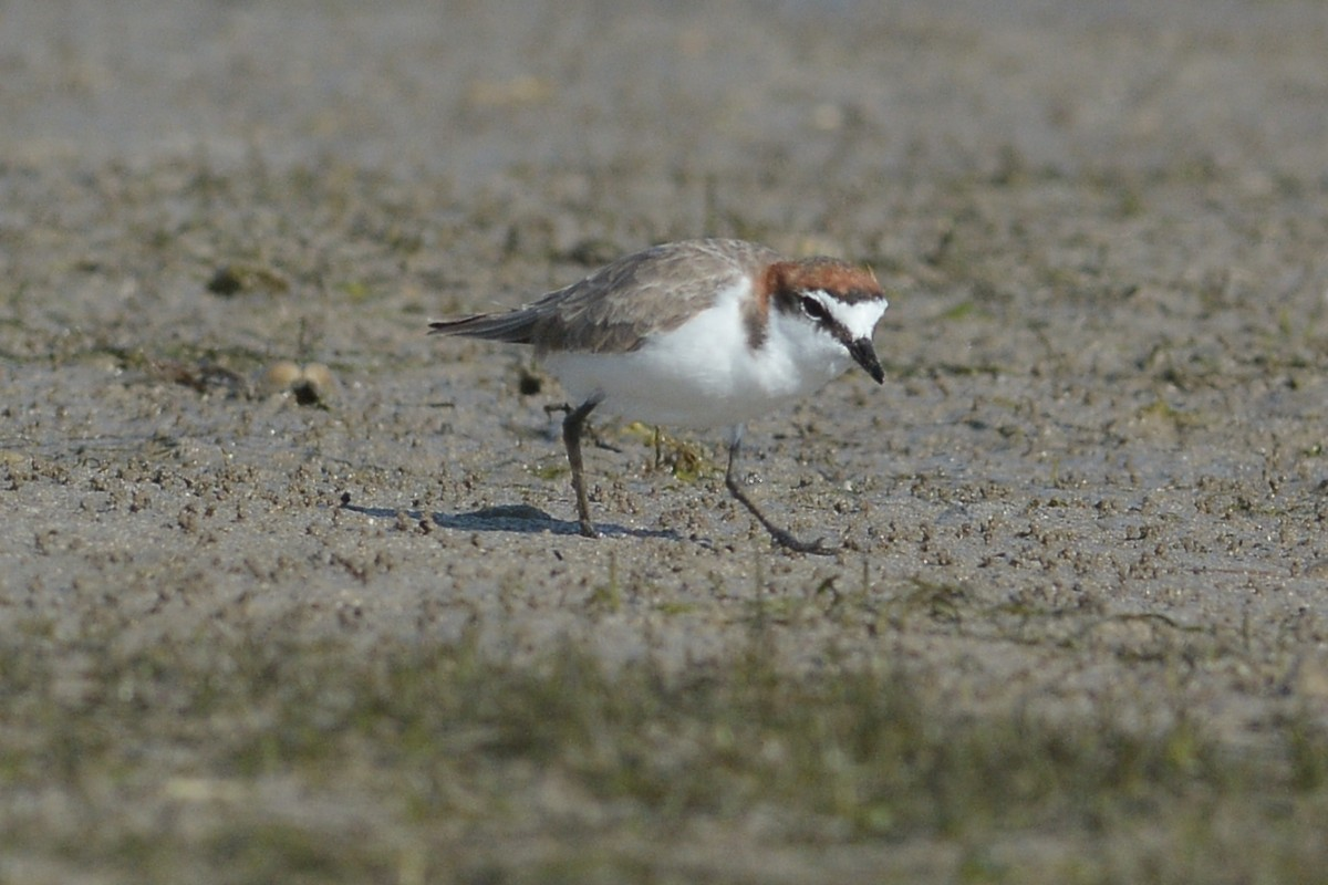 On a beach full of waders I found some Red-capped Plovers hard at work.