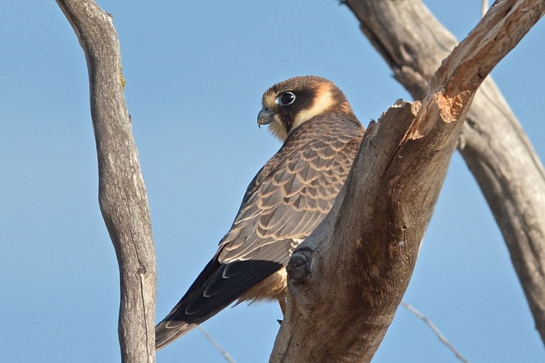 On Beach Road, an Australian Hobby has taken up residence for the moment.