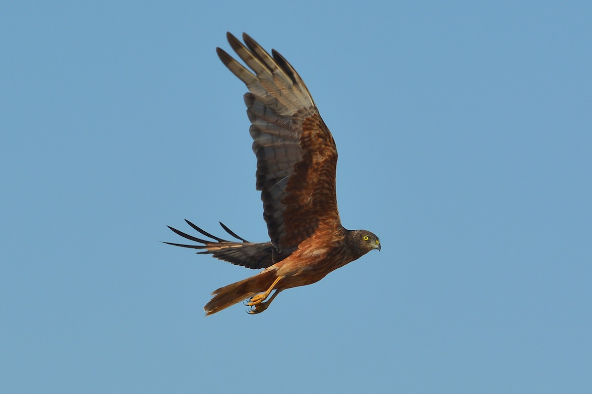 Swamp Harrier has just seen me and swung around to fly away.