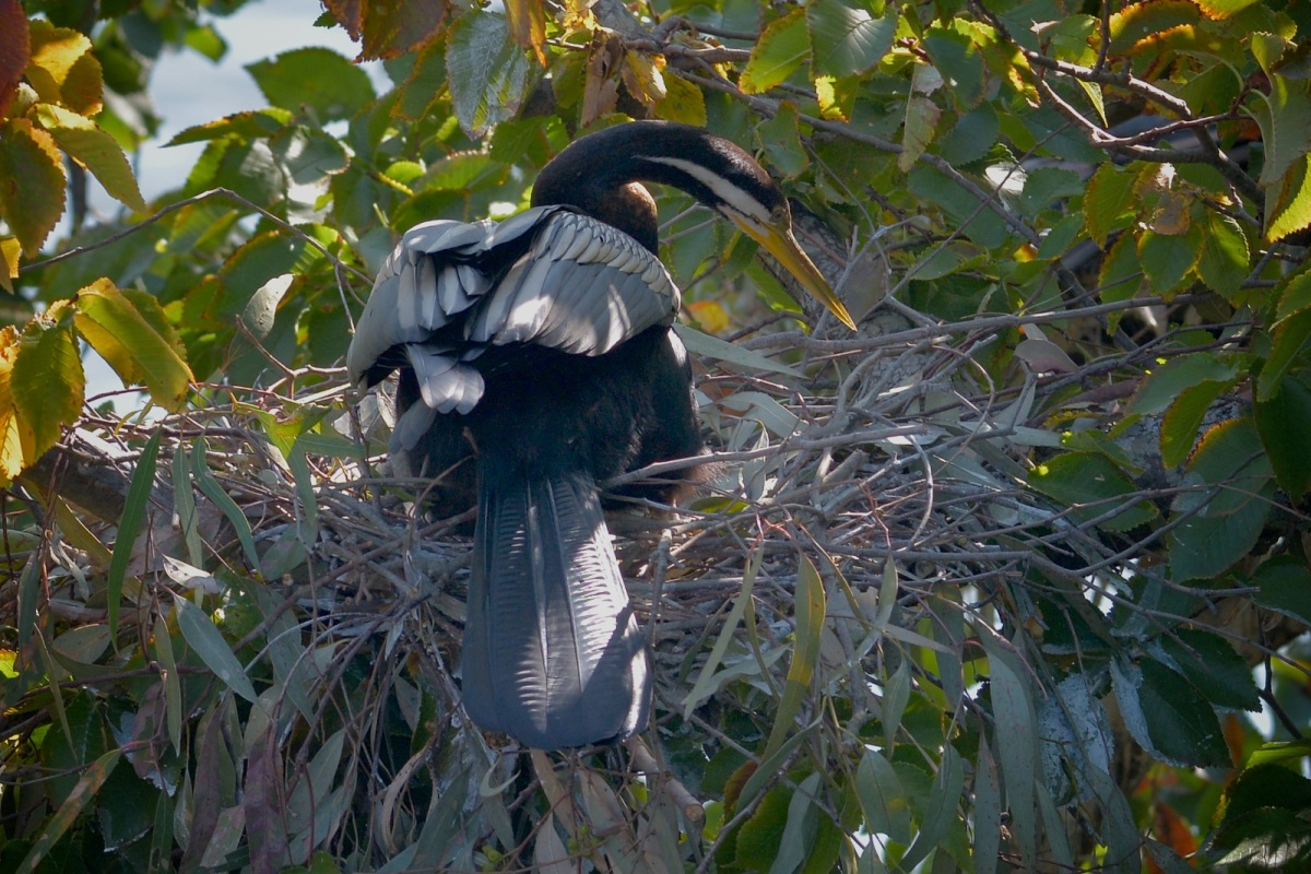 Male Australasian Darter hard at work on the next nest.