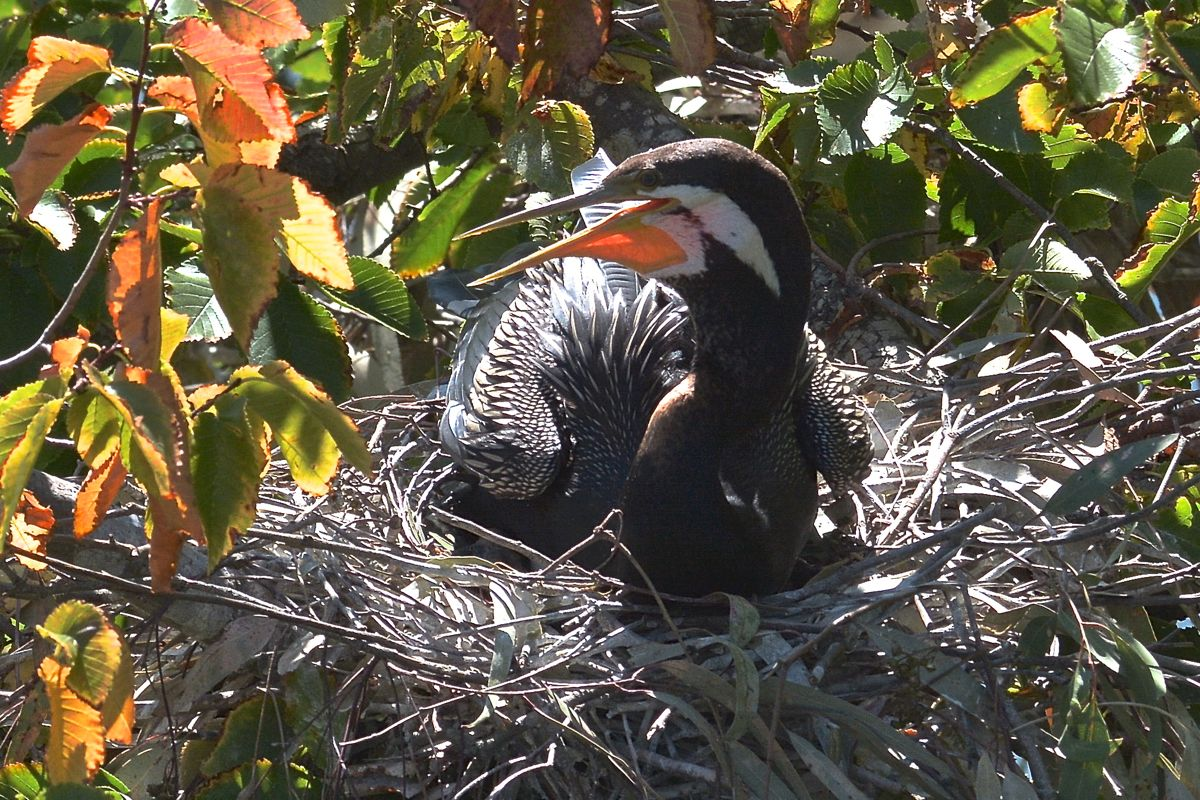 Male sitting on the nest. He must get remarkably hot in the sunshine in that black suit.