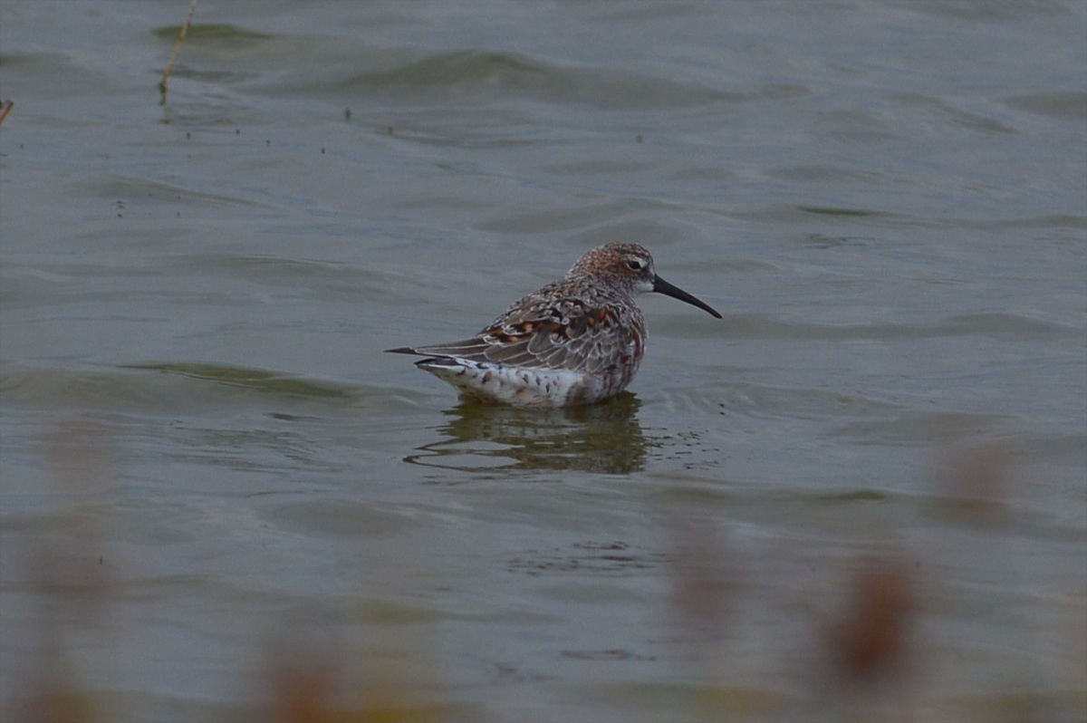 Curlew Sandpiper beginning to put on its mating colours
