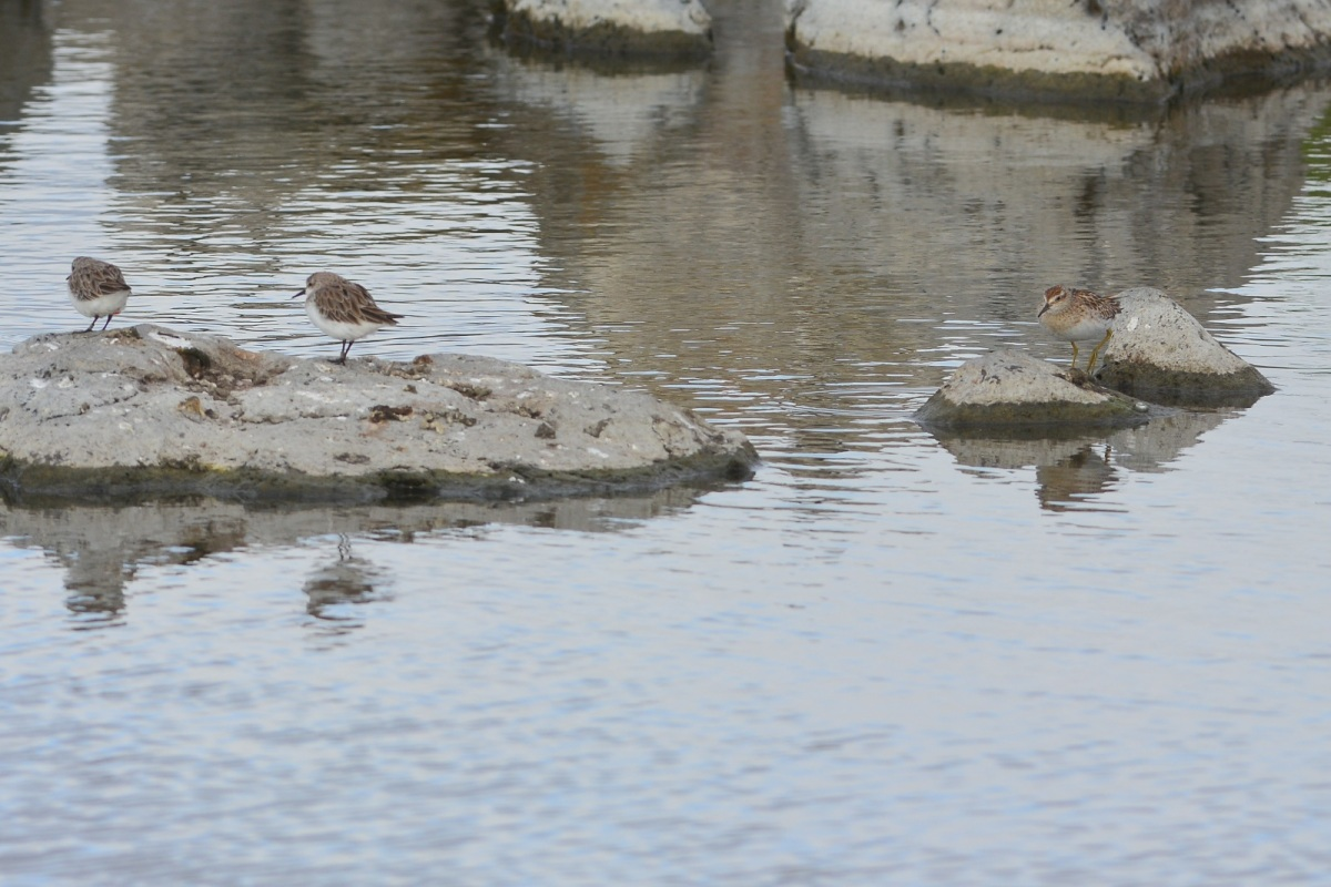 Sandpipers at work.