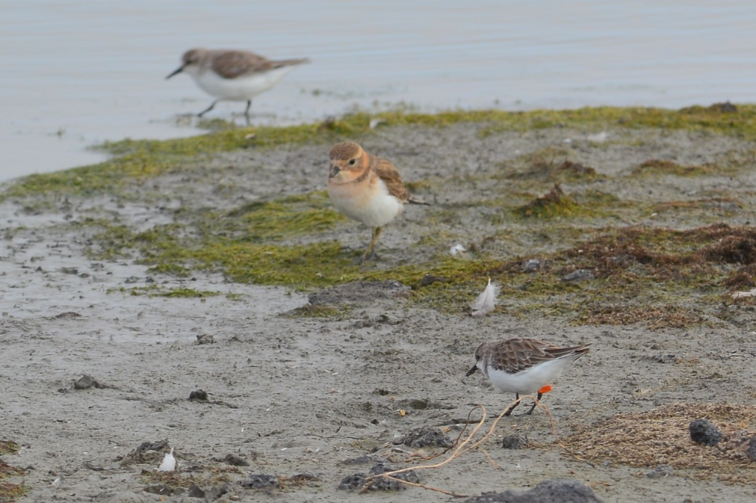 Double-banded Plover in its lovely ginger/orange tones.
