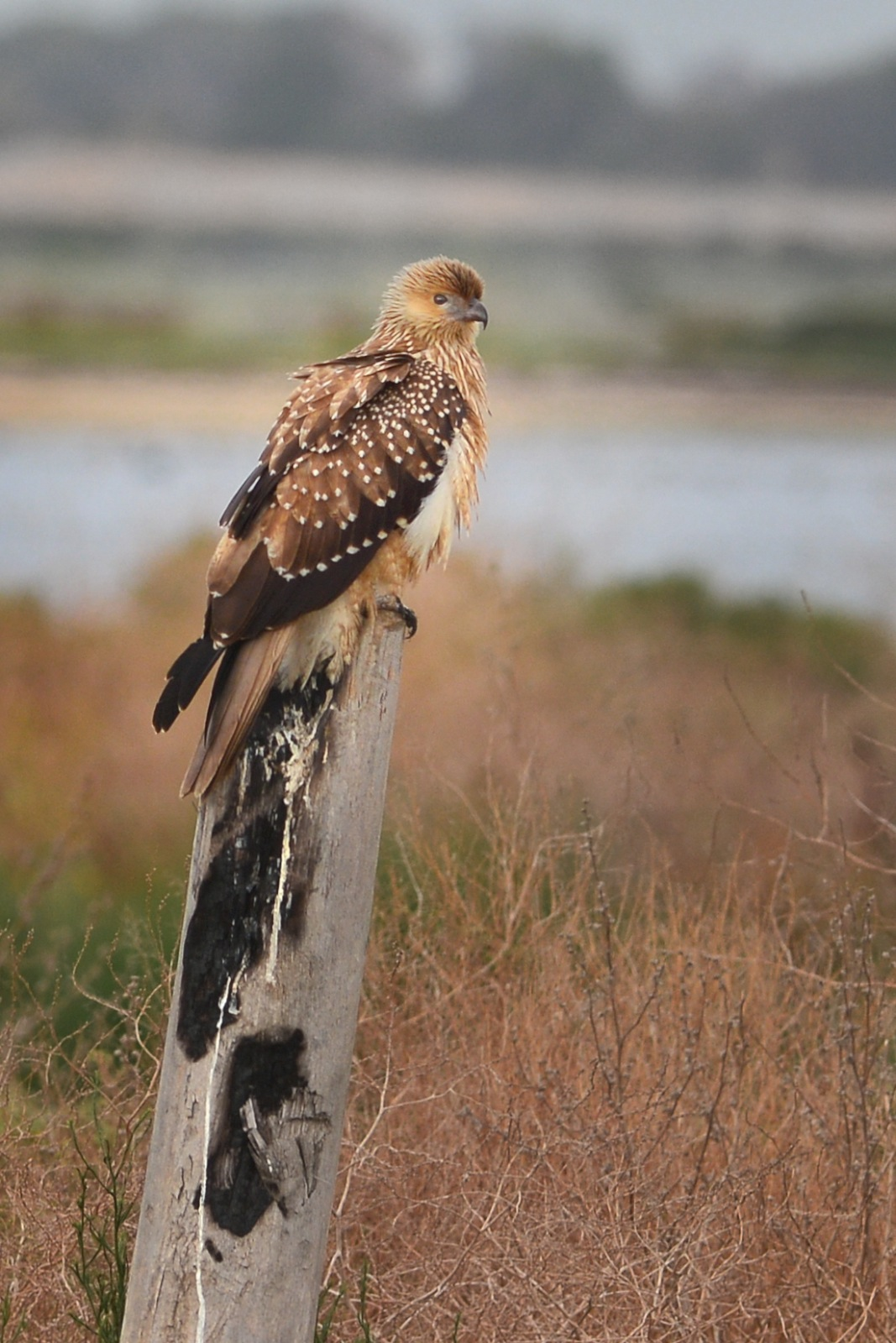 Whistling Kite wondering why the Sea Eagle took off.