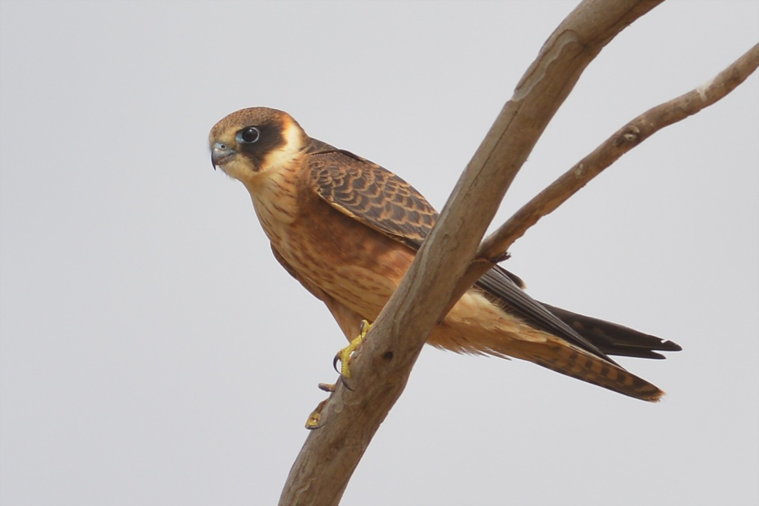 A lovely Australian Hobby.  I think these are the most beautifully marked Aussie Raptors