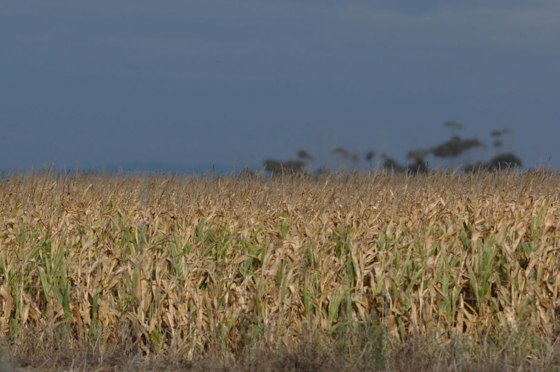 A burst of late evening sunlight highlights the maize against the brilliant dark sky.