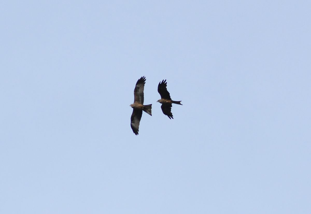 Two Black Kites.  They are at completely different heights.