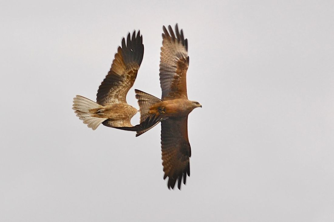 Whistling Kite, vs Black Kite.  Probably not as one sided as it at first appeared.