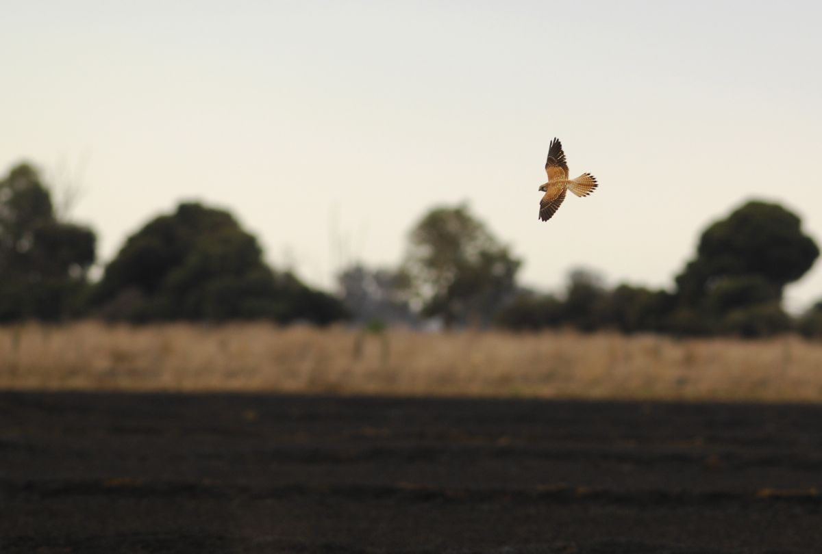Australian Kestrel turning  for another sweep over the still smouldering paddock.