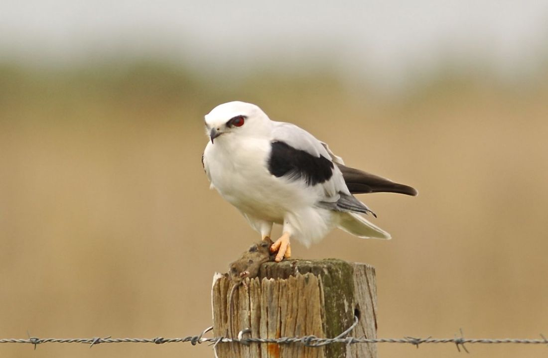 Completely uninterested in the bbq, this Black-shouldered Kite stuck to its larder.  A mouse.