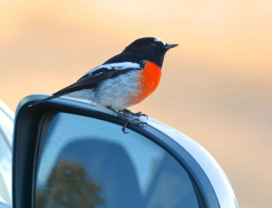 Scarlet 1 Mirror bird 0