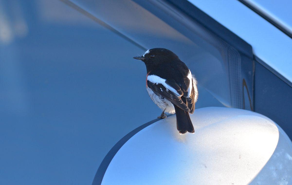 Where is that mirror bird